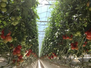 monahans-Tomatoes-Village-farm-row