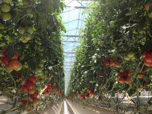 monahans-Tomatoes-Village-farm-row
